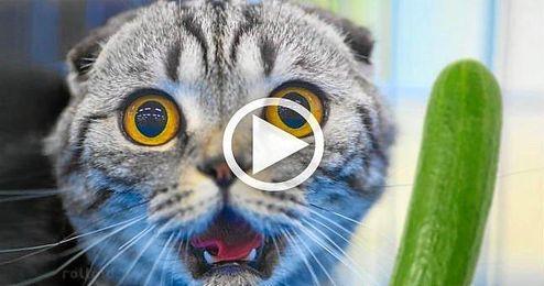 (VÍDEO) El nuevo enemigo de los gatos