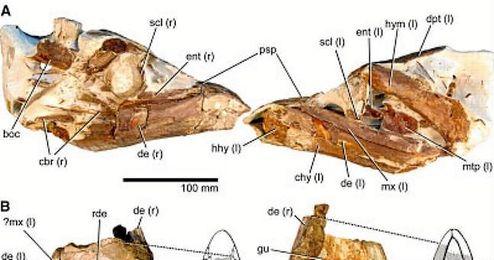 Imagen de los restos fósiles de la especie ´Rhinconichthys´.
