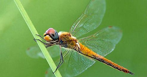 En la imagen, un ejemplar de libélula ´pantala flavescens´.