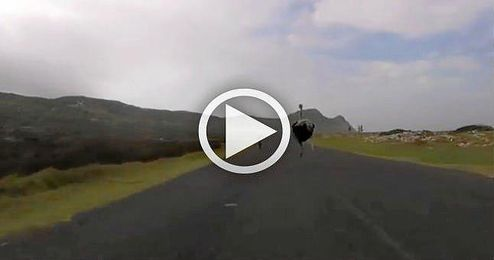 (VIDEO) Un avestruz se une a un entrenamiento ciclista
