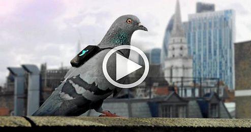 Pigeon Air Patrol, las palomas que miden la calidad del aire