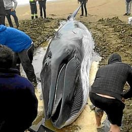 Imagen de los voluntarios con la cría de ballena varada.