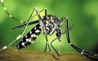 El mosquito tigre se expande por la costa mediterr�nea espa�ola